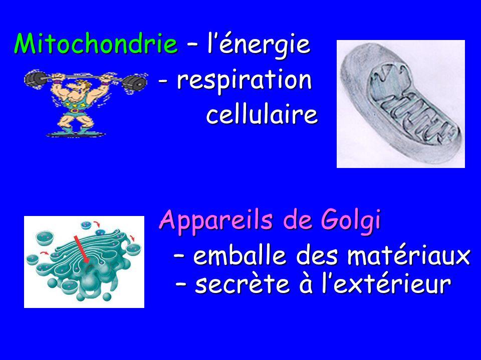 Mitochondrie – lénergie - respiration - respirationcellulaire Appareils de Golgi – emballe des matériaux – secrète à lextérieur – emballe des matériau