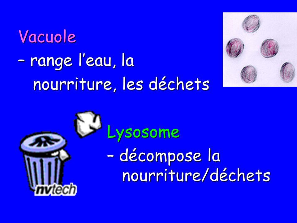 Vacuole – range leau, la nourriture, les déchets nourriture, les déchetsLysosome – décompose la nourriture/déchets