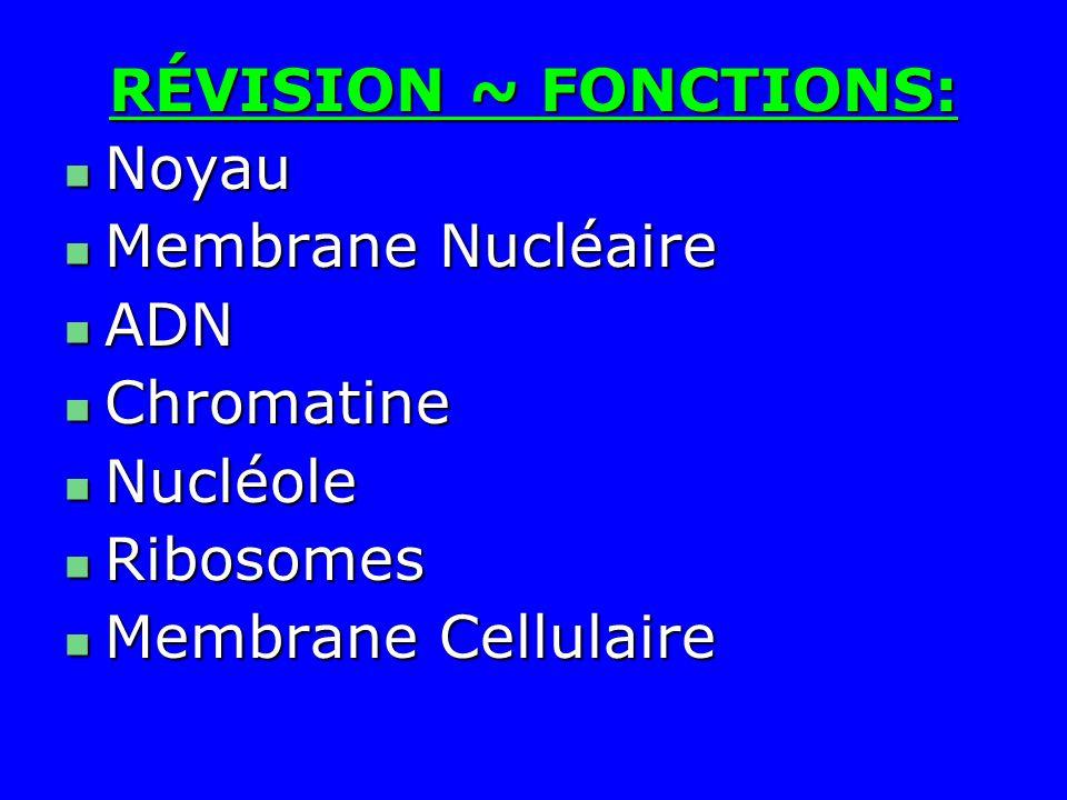 RÉVISION ~ FONCTIONS: Noyau Noyau Membrane Nucléaire Membrane Nucléaire ADN ADN Chromatine Chromatine Nucléole Nucléole Ribosomes Ribosomes Membrane C