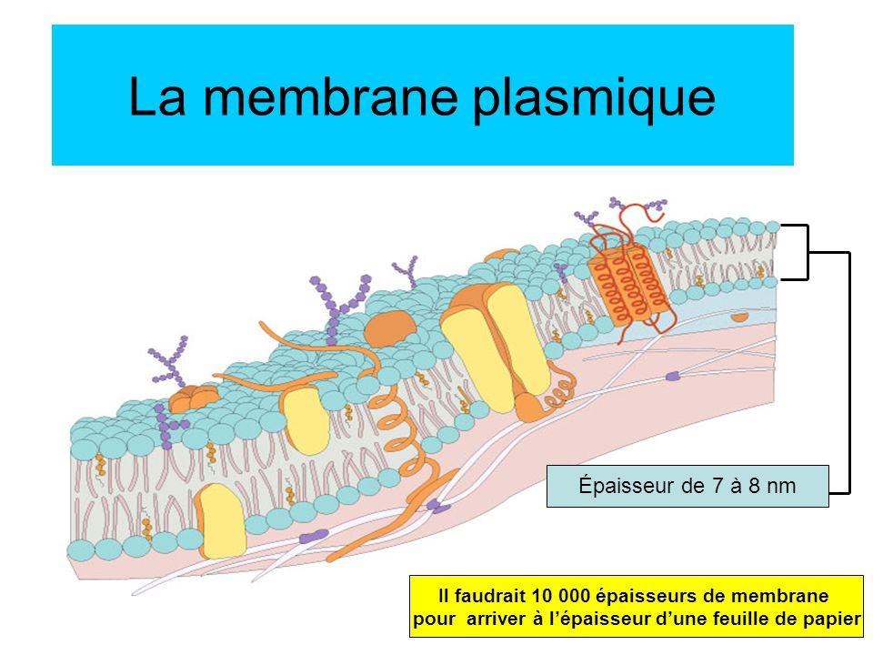 La membrane plasmique Épaisseur de 7 à 8 nm Il faudrait 10 000 épaisseurs de membrane pour arriver à lépaisseur dune feuille de papier