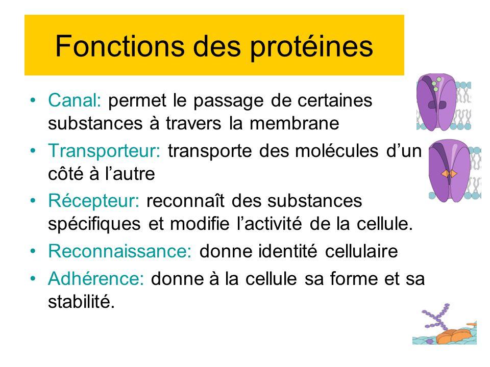 Canal: permet le passage de certaines substances à travers la membrane Transporteur: transporte des molécules dun côté à lautre Récepteur: reconnaît des substances spécifiques et modifie lactivité de la cellule.