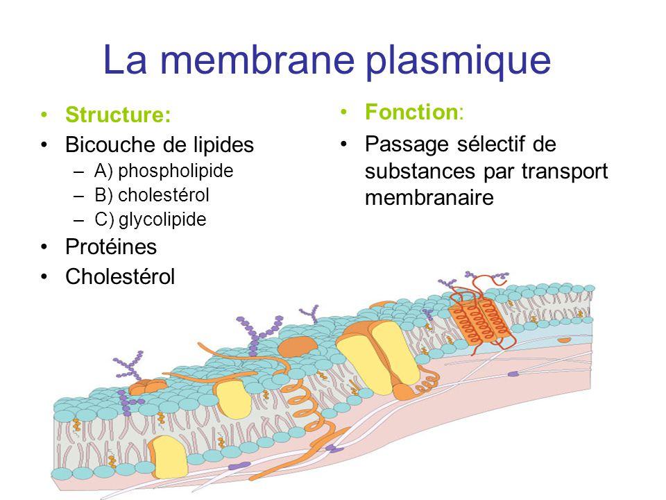 La membrane plasmique Structure: Bicouche de lipides –A) phospholipide –B) cholestérol –C) glycolipide Protéines Cholestérol Fonction: Passage sélectif de substances par transport membranaire