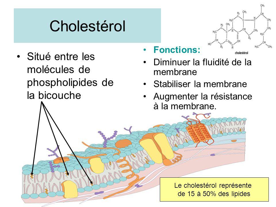 Cholestérol Situé entre les molécules de phospholipides de la bicouche Fonctions: Diminuer la fluidité de la membrane Stabiliser la membrane Augmenter la résistance à la membrane.