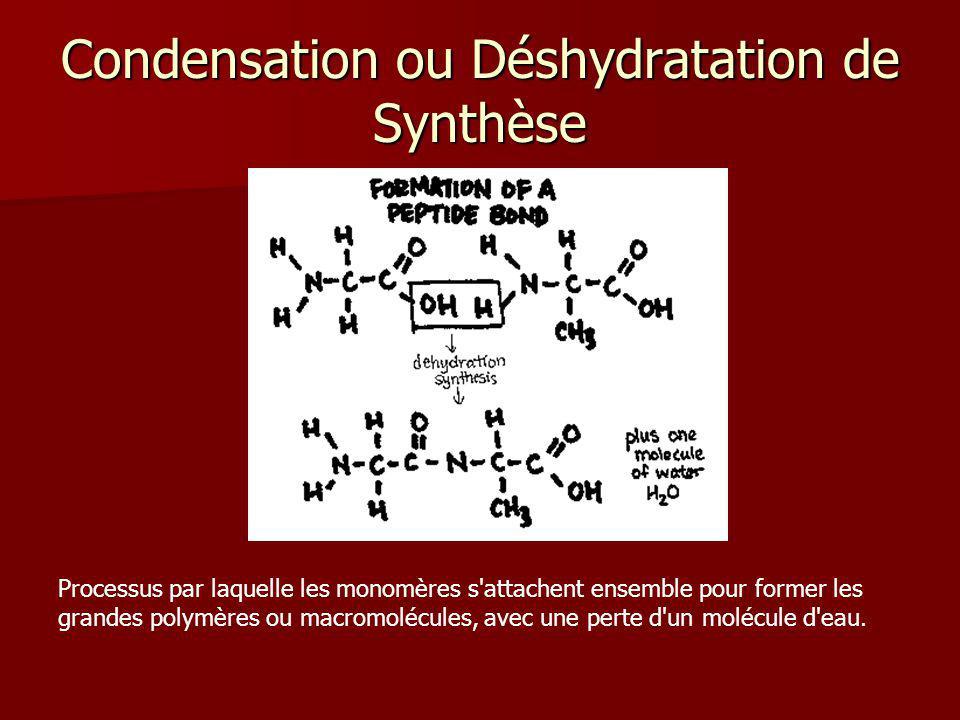Condensation ou Déshydratation de Synthèse Processus par laquelle les monomères s'attachent ensemble pour former les grandes polymères ou macromolécul
