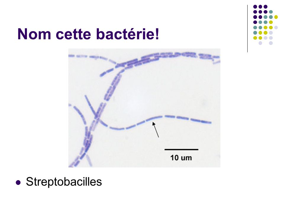 Nom cette bactérie! Streptobacilles