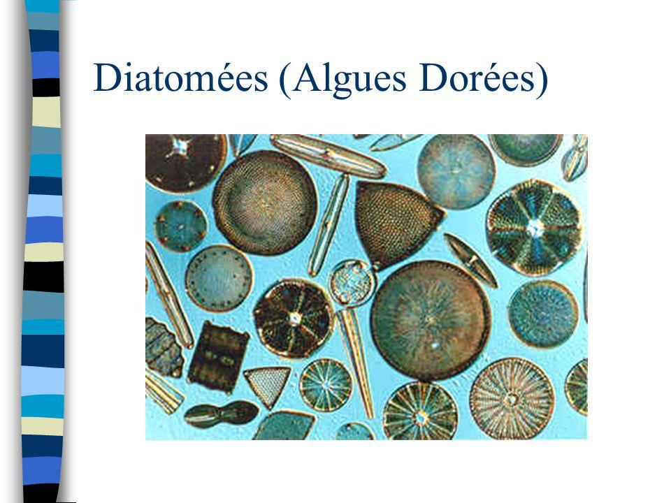 Diatomées (Algues Dorées)