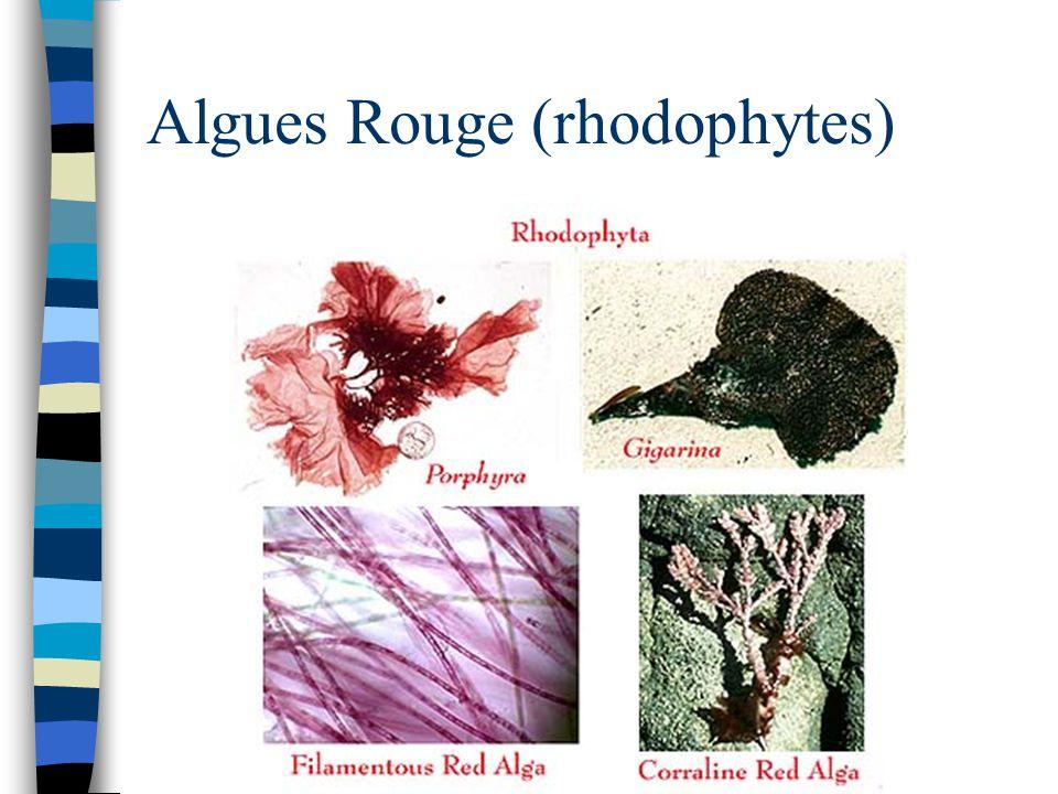 Algues Rouge (rhodophytes)