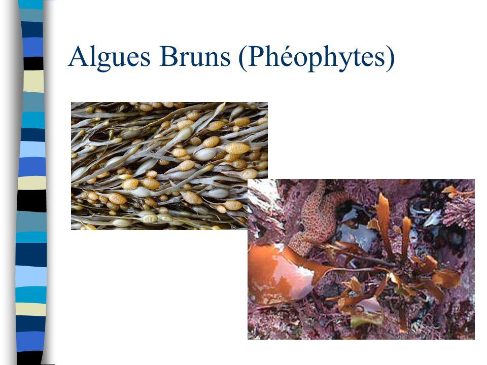 Algues Bruns (Phéophytes)