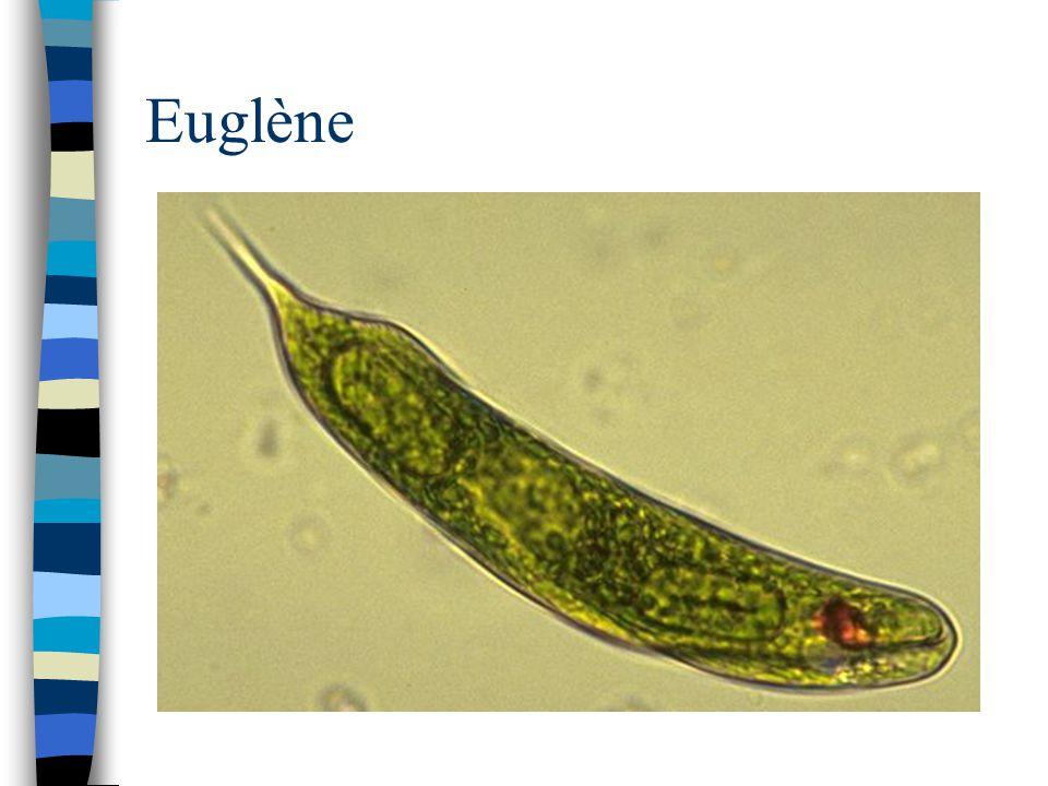 Euglène