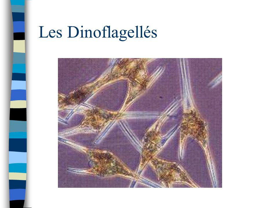 Les Dinoflagellés