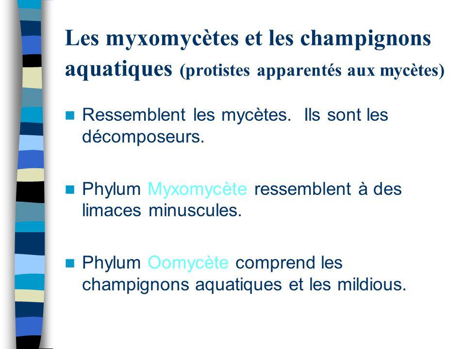Les myxomycètes et les champignons aquatiques (protistes apparentés aux mycètes) Ressemblent les mycètes. Ils sont les décomposeurs. Phylum Myxomycète