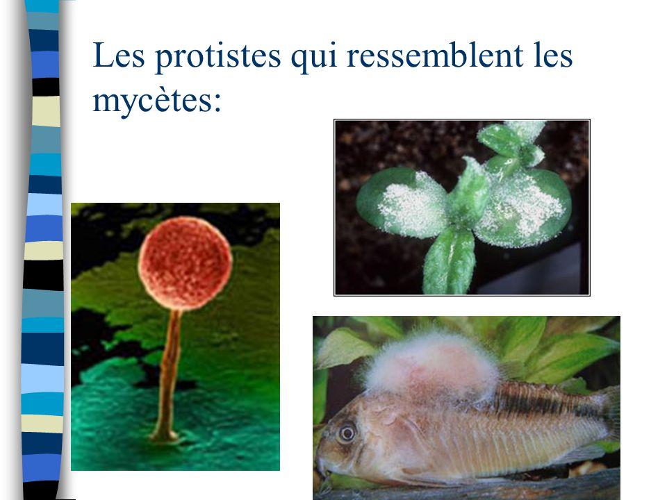 Les protistes qui ressemblent les mycètes: