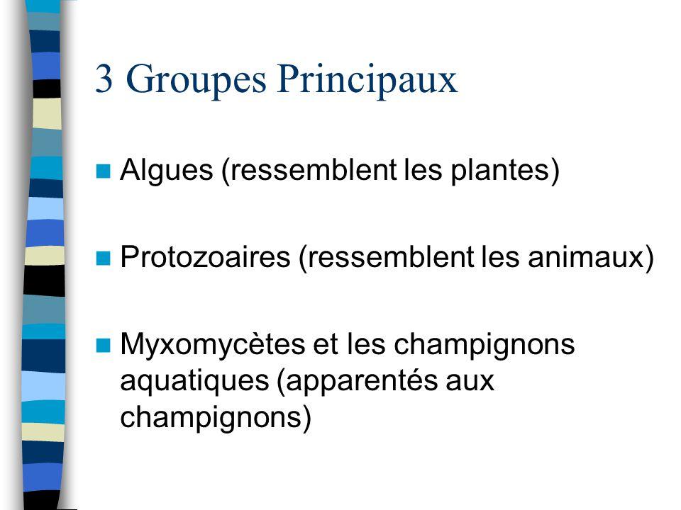 3 Groupes Principaux Algues (ressemblent les plantes) Protozoaires (ressemblent les animaux) Myxomycètes et les champignons aquatiques (apparentés aux
