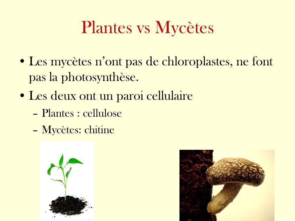 Plantes vs Mycètes Les mycètes nont pas de chloroplastes, ne font pas la photosynthèse. Les deux ont un paroi cellulaire –Plantes : cellulose –Mycètes