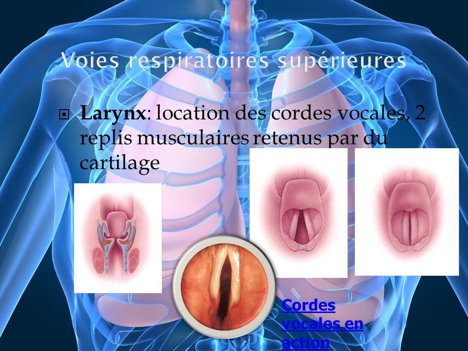 Larynx : location des cordes vocales, 2 replis musculaires retenus par du cartilage Cordes vocales en action