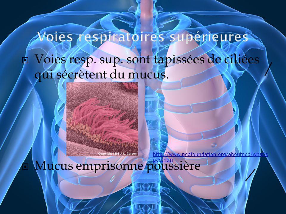 Voies resp. sup. sont tapissées de ciliées qui sécrètent du mucus. Mucus emprisonne poussière http://www.pcdfoundation.org/aboutpcd/whatis pcd.htm