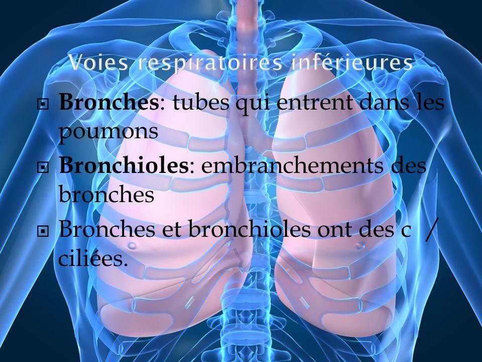 Bronches : tubes qui entrent dans les poumons Bronchioles : embranchements des bronches Bronches et bronchioles ont des c ciliées.