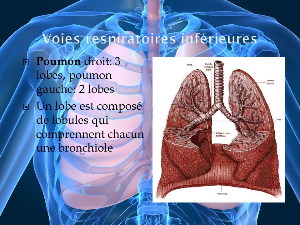 Poumon droit: 3 lobes, poumon gauche: 2 lobes Un lobe est composé de lobules qui comprennent chacun une bronchiole