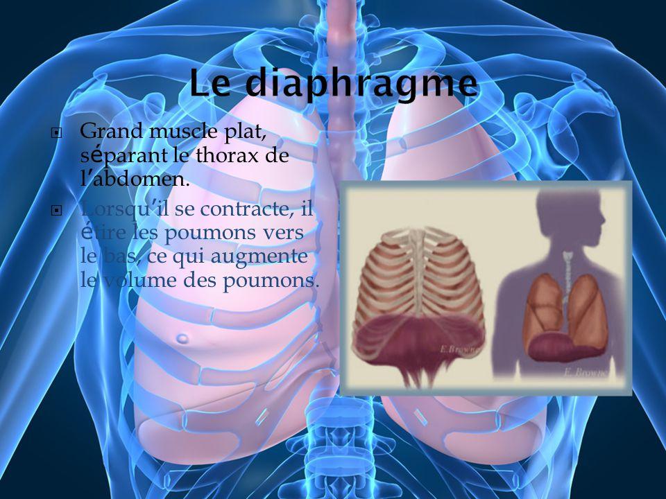 Grand muscle plat, s é parant le thorax de l abdomen. Lorsqu il se contracte, il é tire les poumons vers le bas, ce qui augmente le volume des poumons