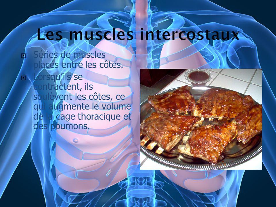 Séries de muscles placés entre les côtes. Lorsquils se contractent, ils soulèvent les côtes, ce qui augmente le volume de la cage thoracique et des po