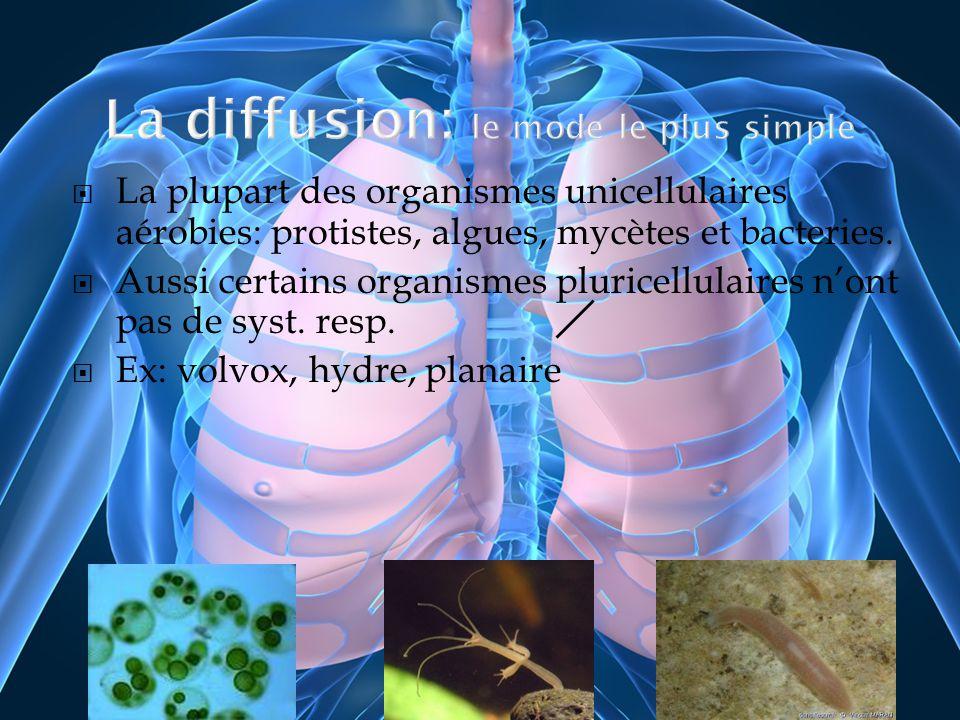 La plupart des organismes unicellulaires aérobies: protistes, algues, mycètes et bacteries. Aussi certains organismes pluricellulaires nont pas de sys