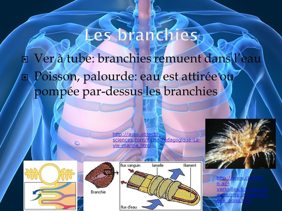 Ver à tube: branchies remuent dans leau Poisson, palourde: eau est attirée ou pompée par-dessus les branchies http://www.chambo n.ac- versailles.fr/sc
