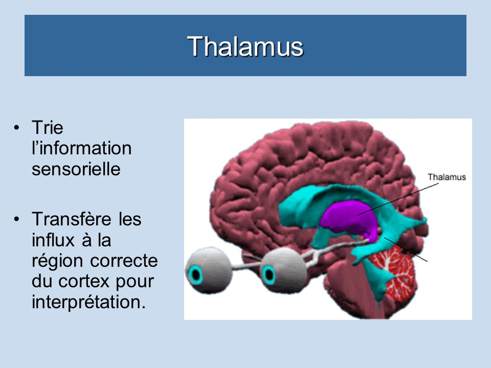 Thalamus Trie linformation sensorielle Transfère les influx à la région correcte du cortex pour interprétation.