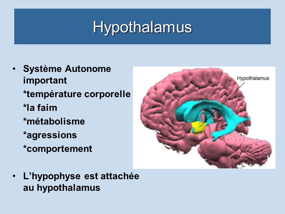 Hypothalamus Système Autonome important *température corporelle *la faim *métabolisme *agressions *comportement Lhypophyse est attachée au hypothalamu