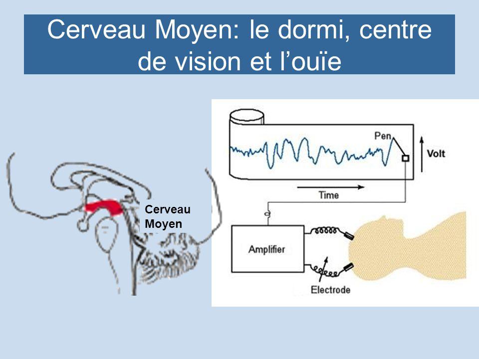 Cerveau Moyen: le dormi, centre de vision et louïe Cerveau Moyen
