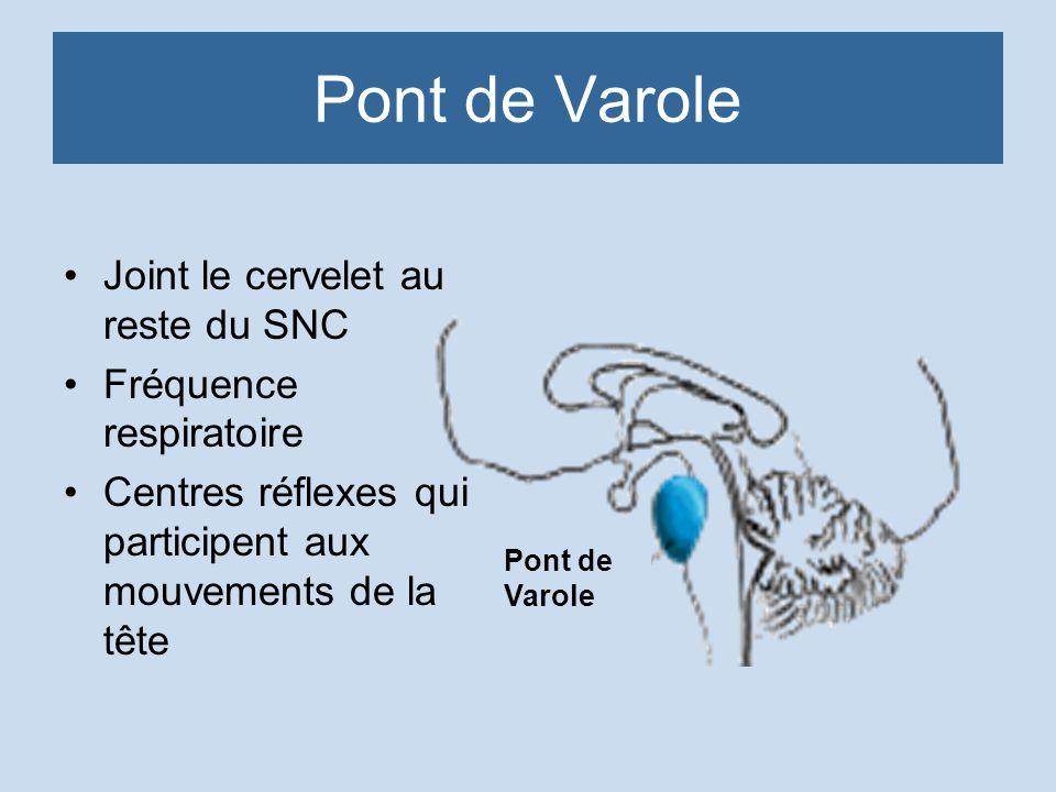 Pont de Varole Joint le cervelet au reste du SNC Fréquence respiratoire Centres réflexes qui participent aux mouvements de la tête Pont de Varole
