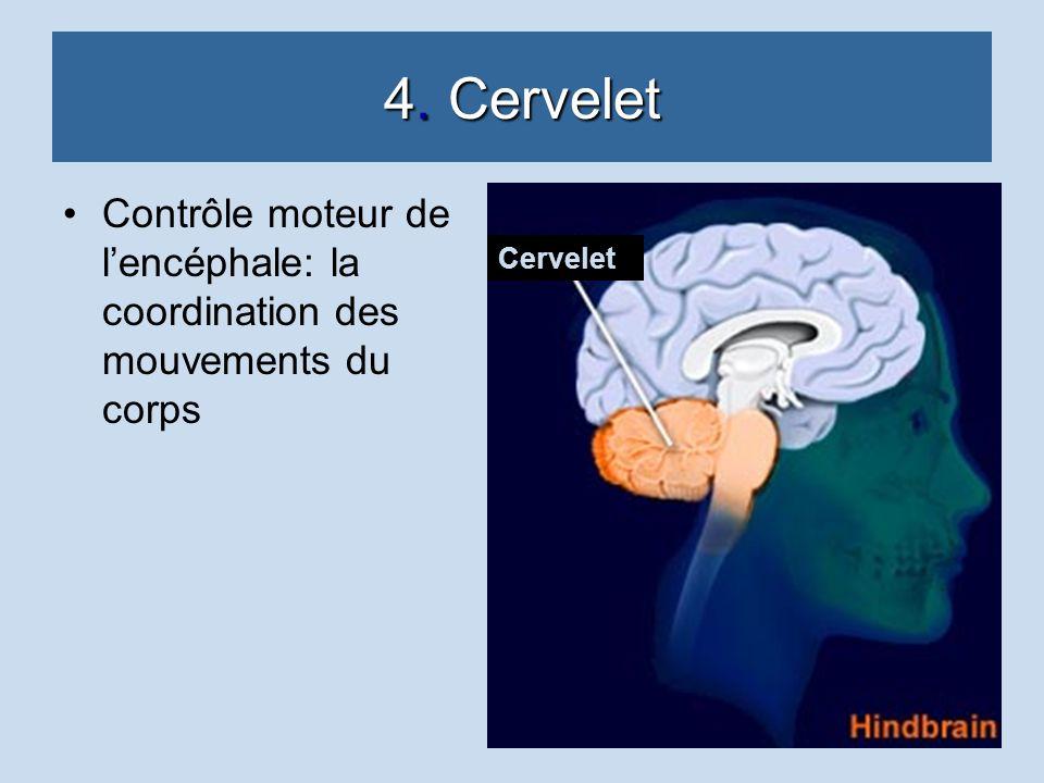 4. Cervelet Contrôle moteur de lencéphale: la coordination des mouvements du corps Cervelet