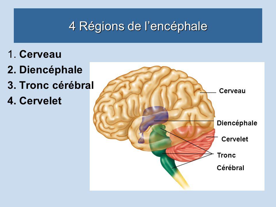 4 Régions de lencéphale 1. Cerveau 2. Diencéphale 3. Tronc cérébral 4. Cervelet Cervelet Diencéphale Cerveau Tronc Cérébral