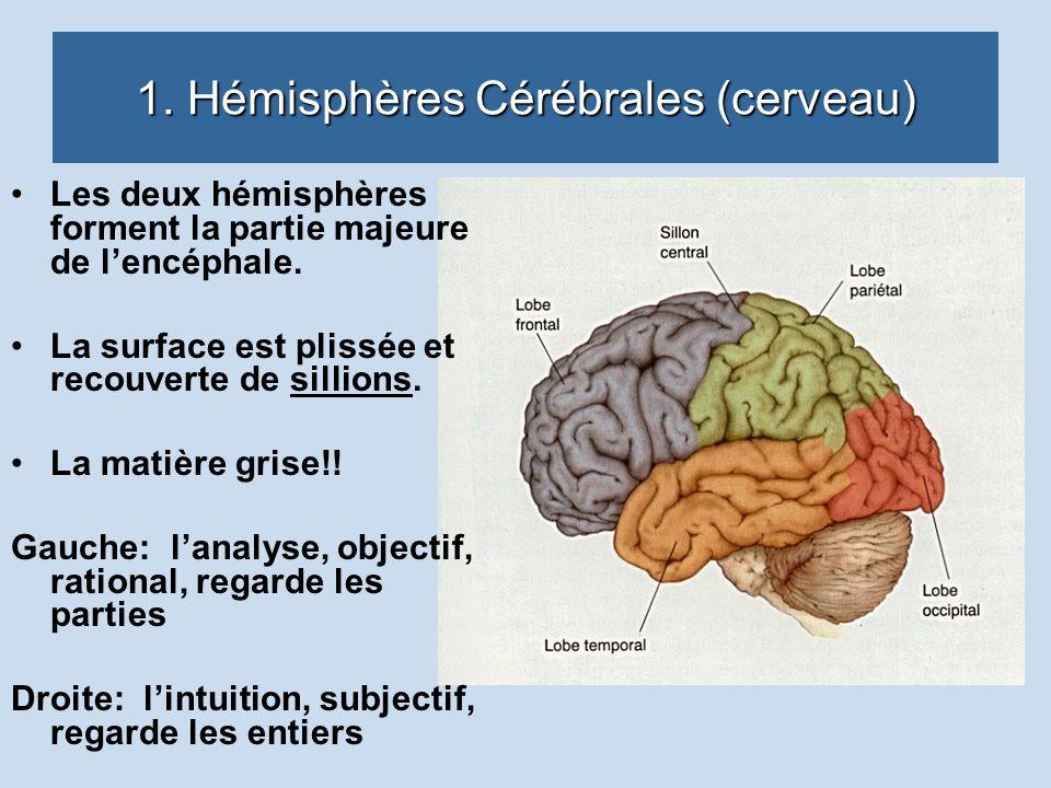 1. Hémisphères Cérébrales (cerveau) Les deux hémisphères forment la partie majeure de lencéphale. La surface est plissée et recouverte de sillions. La