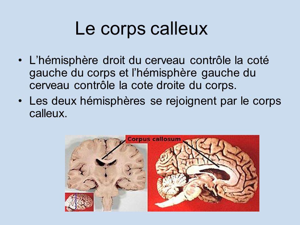 Le corps calleux Lhémisphère droit du cerveau contrôle la coté gauche du corps et lhémisphère gauche du cerveau contrôle la cote droite du corps. Les