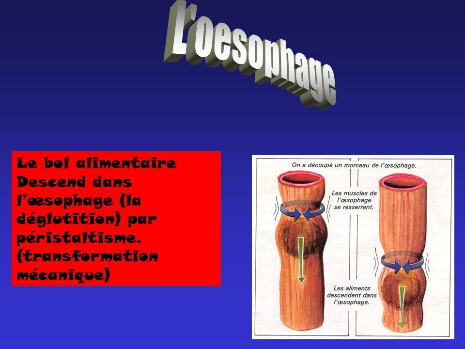 Le bol alimentaire Descend dans lœsophage (la déglutition) par péristaltisme. (transformation mécanique)
