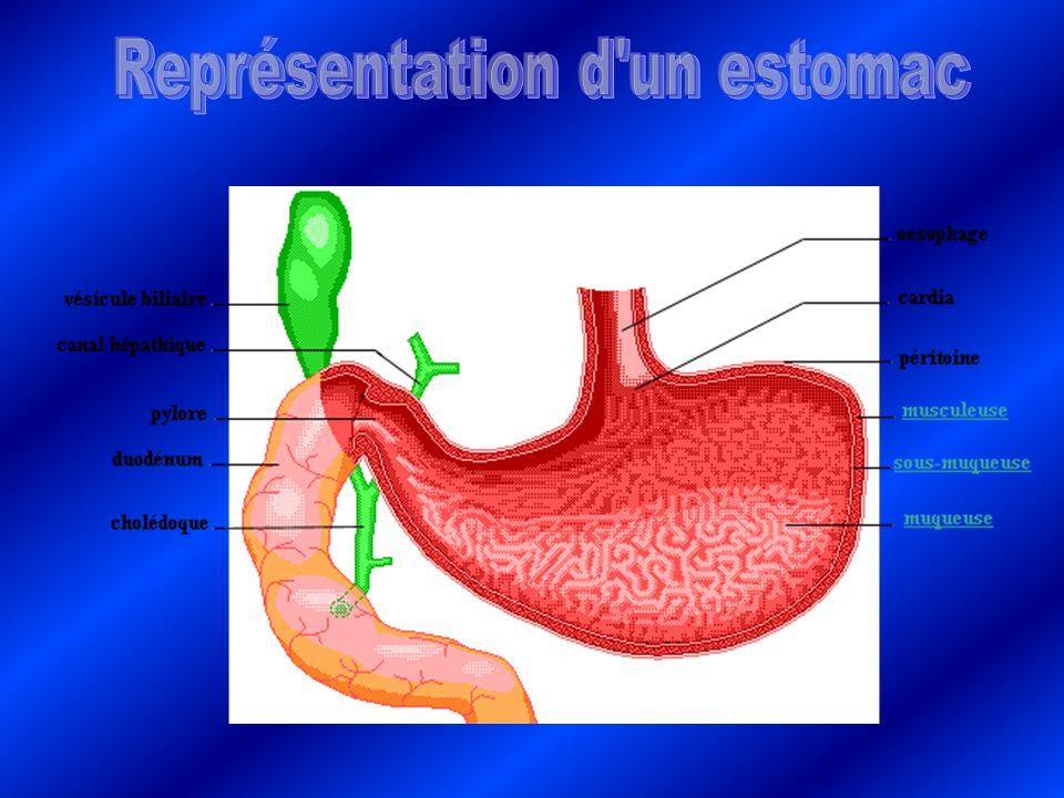 La bile sécrétée par la vésicule biliaire défet les lipides en morceaux et la chyme descend par péristaltisme dans lintestin grêle.