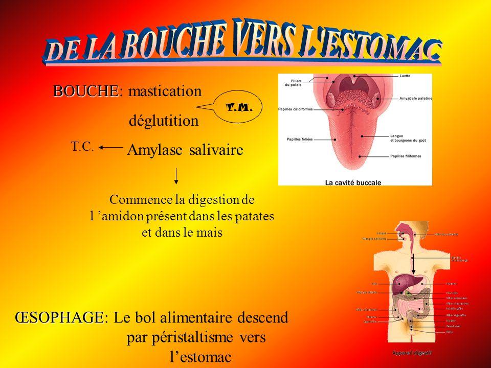 BOUCHE BOUCHE: mastication déglutition Amylase salivaire ŒSOPHAGE ŒSOPHAGE: Le bol alimentaire descend par péristaltisme vers lestomac T.M. Commence l