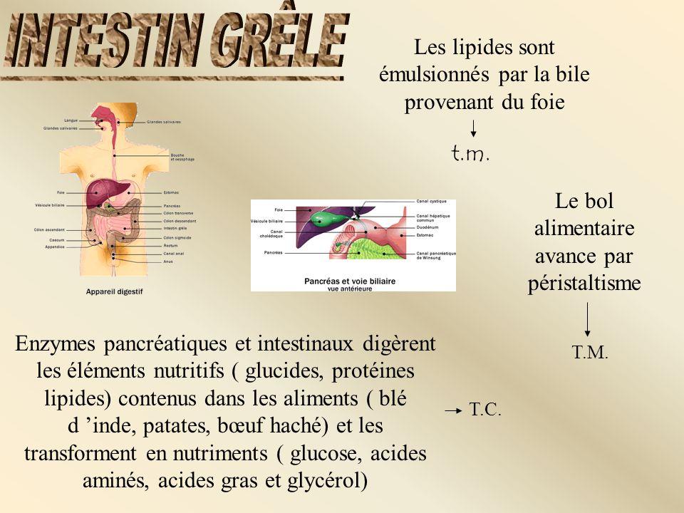 Enzymes pancréatiques et intestinaux digèrent les éléments nutritifs ( glucides, protéines lipides) contenus dans les aliments ( blé d inde, patates,