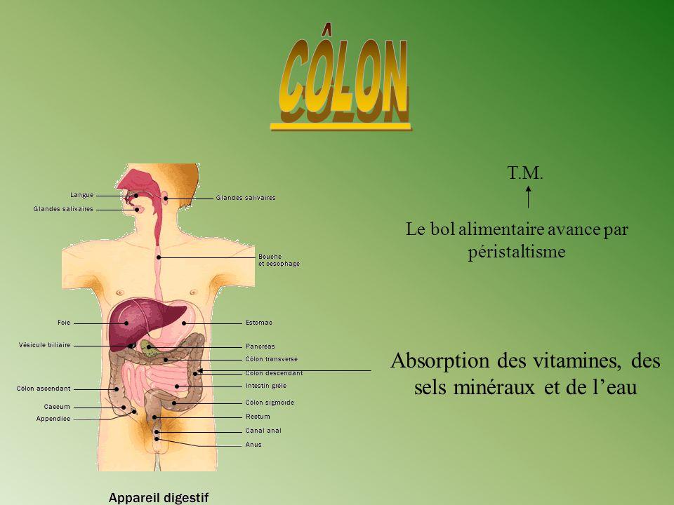 Absorption des vitamines, des sels minéraux et de leau Le bol alimentaire avance par péristaltisme T.M.