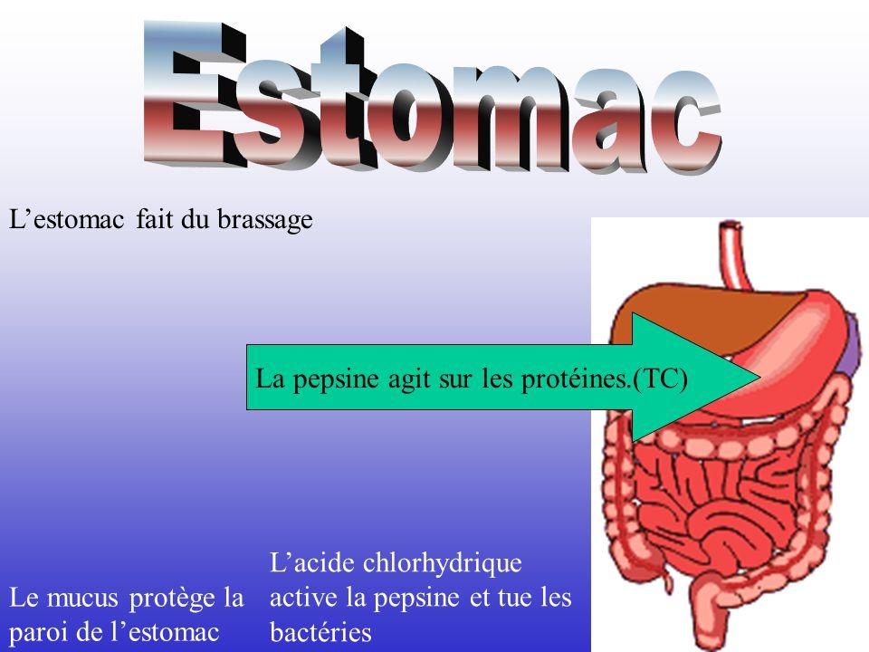 La pepsine agit sur les protéines.(TC) Le mucus protège la paroi de lestomac Lacide chlorhydrique active la pepsine et tue les bactéries Lestomac fait du brassage