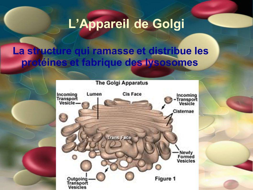 LAppareil de Golgi La structure qui ramasse et distribue les protéines et fabrique des lysosomes