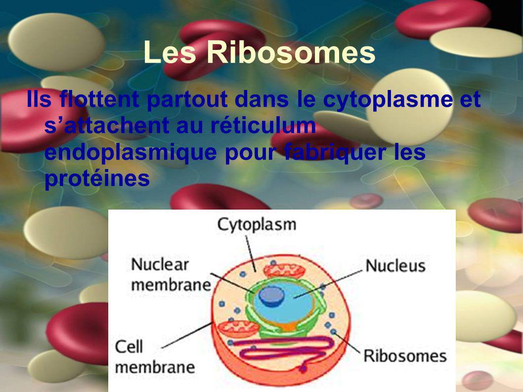 Les Ribosomes Ils flottent partout dans le cytoplasme et sattachent au réticulum endoplasmique pour fabriquer les protéines