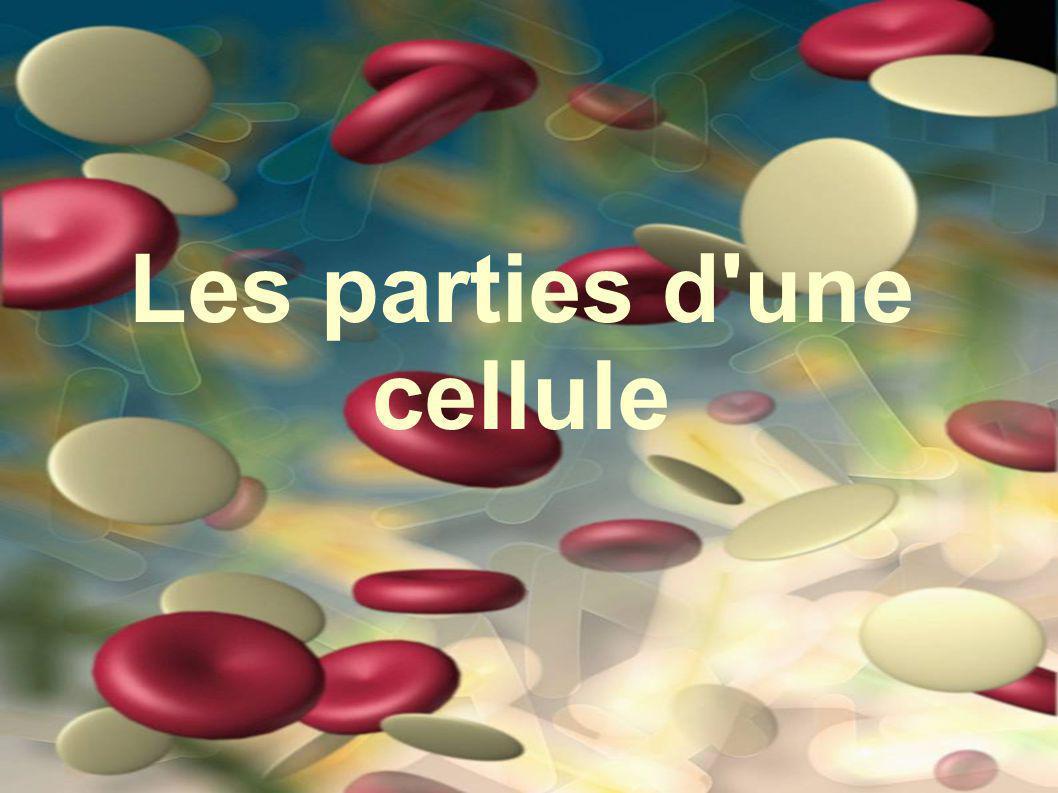 Les mitochondries Produite l energie pour la cellule Les particules de nourriture se decomposent et liberent l energie chimique necessaire aux activities de la cellule