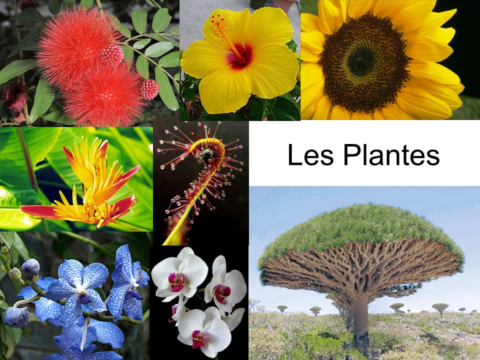 Bibliographie http://www.angelfire.com/sc3/kingdom_plantae/ http://www.learningtreasures.com/plant_habitats.ht m http://www.currentresults.com/Environment- Facts/Plants-Animals/number-species.php http://www.strange-facts.info/interesting-facts- about-plants http://www.bitoffun.com/fun_facts_plants.htm http://www.hort.purdue.edu/hort/courses/hort101sp ring/PlantClassification/tsld003.htm http://www.articlesnatch.com/Article/Different- Kinds-Of-Plants-Categorized/465505