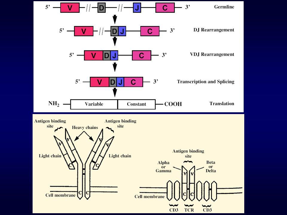 Lymphomes B +++ Lymphomes T +/- TRANSLOCATIONS RÉCURRENTES Loci des Immunoglobulines / TCR Sur expression dun oncogène Gène de fusion Événement secondaire ( aneuploïdie, délétion, amplifications …)