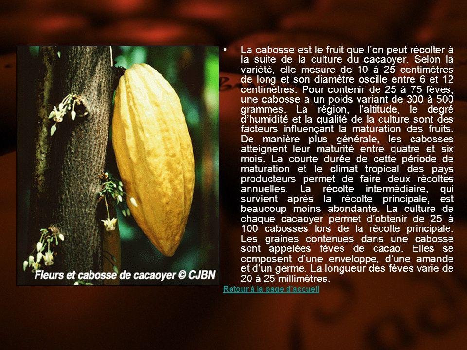 La cabosse est le fruit que lon peut récolter à la suite de la culture du cacaoyer.