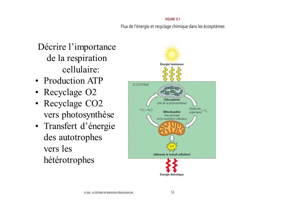 La mitochondrie Décrire limportance de la respiration cellulaire: Production ATP Recyclage O2 Recyclage CO2 vers photosynthèse Transfert dénergie des