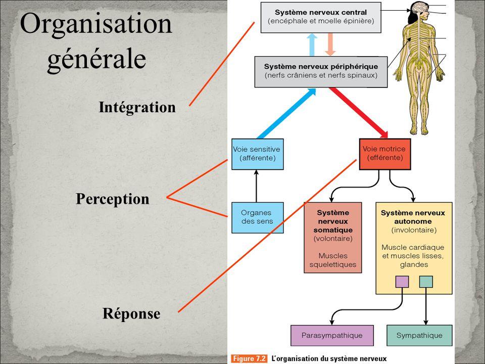Organisation générale Perception Intégration Réponse