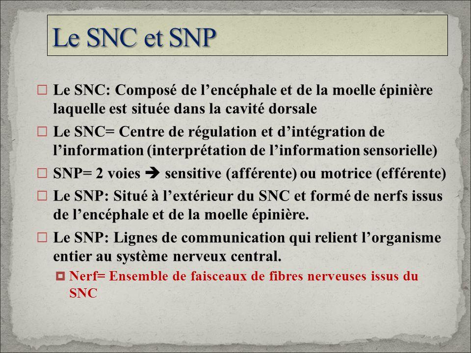 Le SNC: Composé de lencéphale et de la moelle épinière laquelle est située dans la cavité dorsale Le SNC= Centre de régulation et dintégration de linf