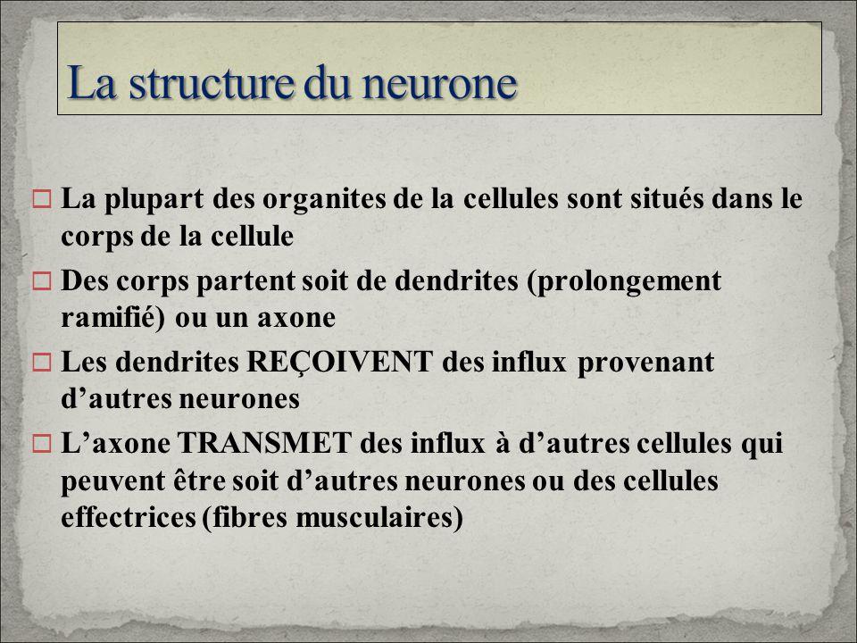La plupart des organites de la cellules sont situés dans le corps de la cellule Des corps partent soit de dendrites (prolongement ramifié) ou un axone